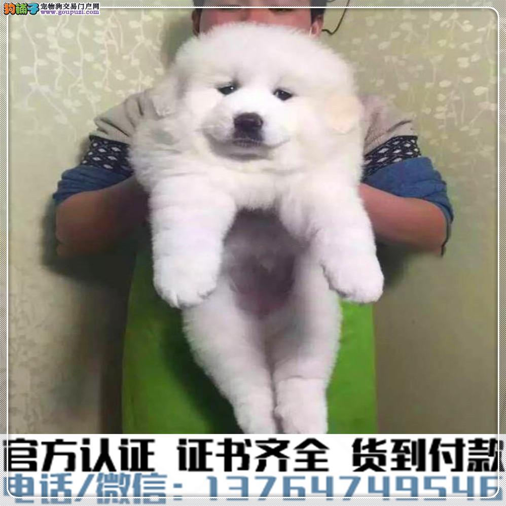 犬舍繁殖纯种大白熊纯种健康养活可签协议