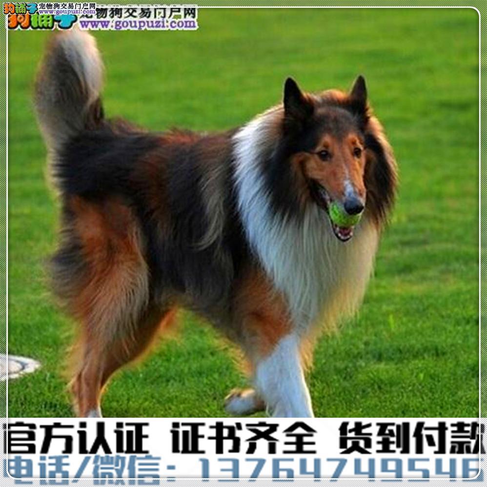官方保障|犬舍繁殖纯种苏牧 纯种健康养活 可签协议.