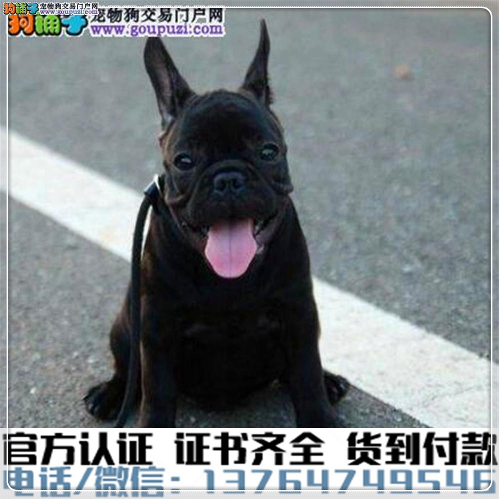 官方保障|犬舍繁殖纯种法牛 纯种健康养活 可签协议.