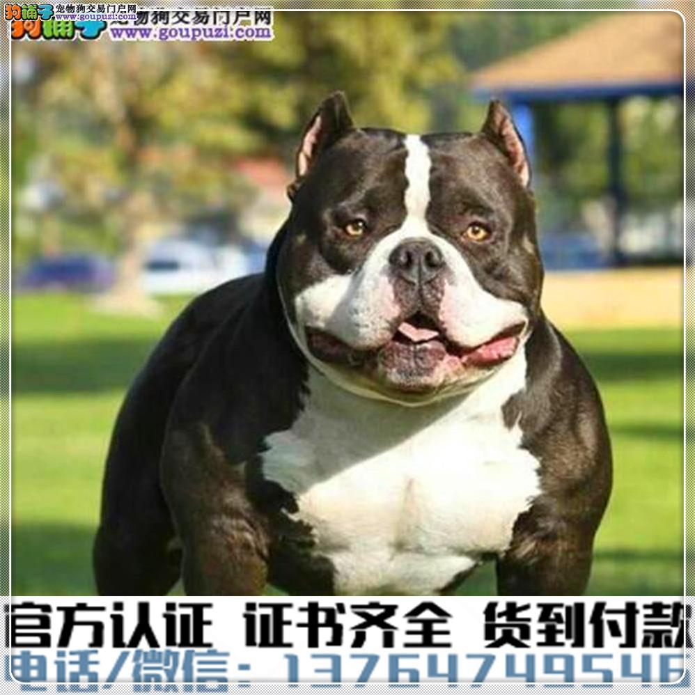 官方保障|犬舍繁殖纯种 美国恶霸犬 可签协议.