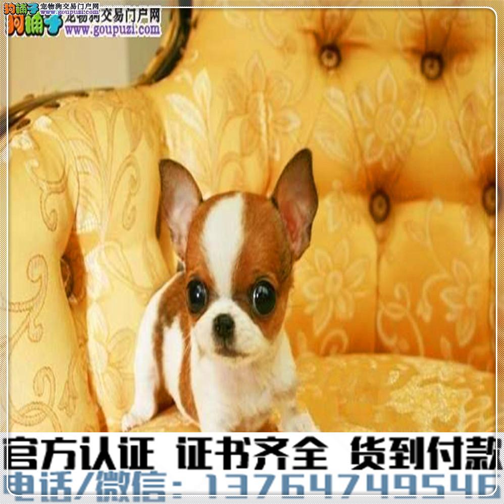 官方保障|犬舍繁殖纯种吉娃娃 纯种健康养活 可签协议.