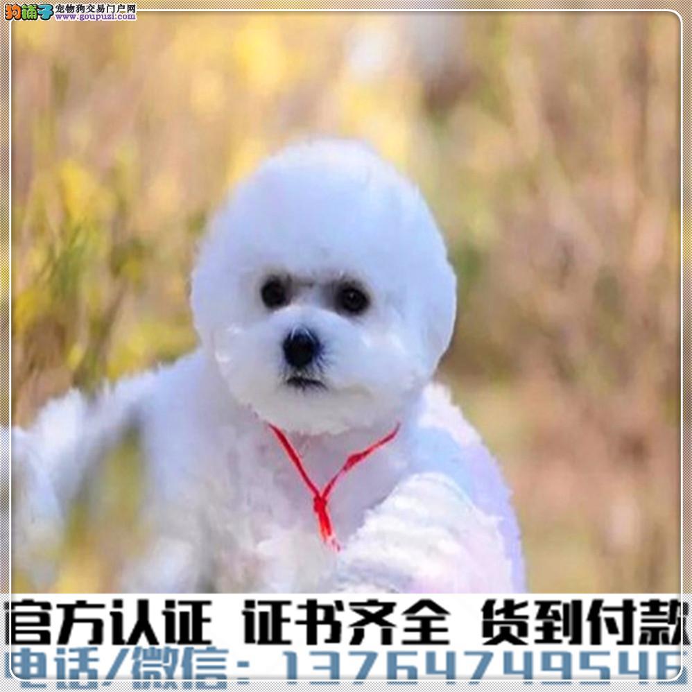 官方保障|犬舍繁殖纯种比熊 纯种健康养活 可签协议.