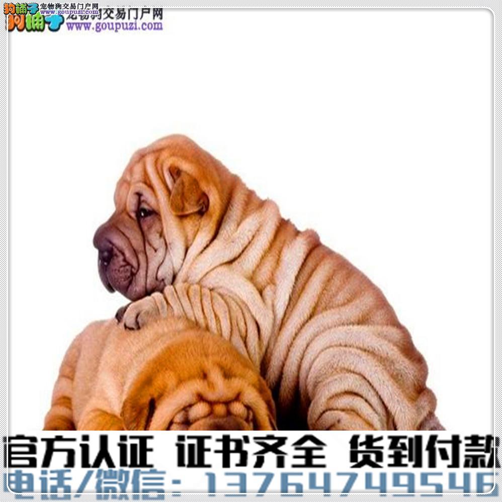 官方保障|犬舍繁殖纯种沙皮纯种健康养活 可签协议.