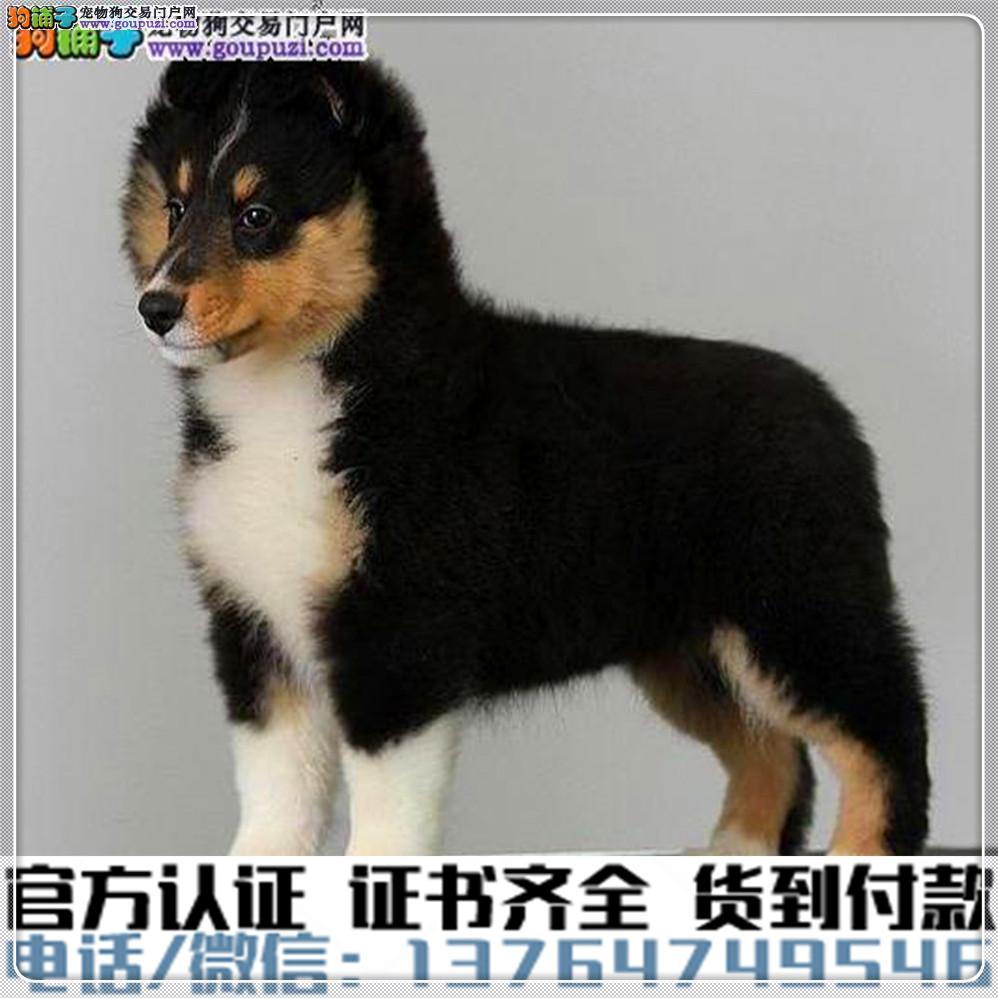 官方保障 犬舍繁殖纯种喜乐蒂健康养活 可签协议.