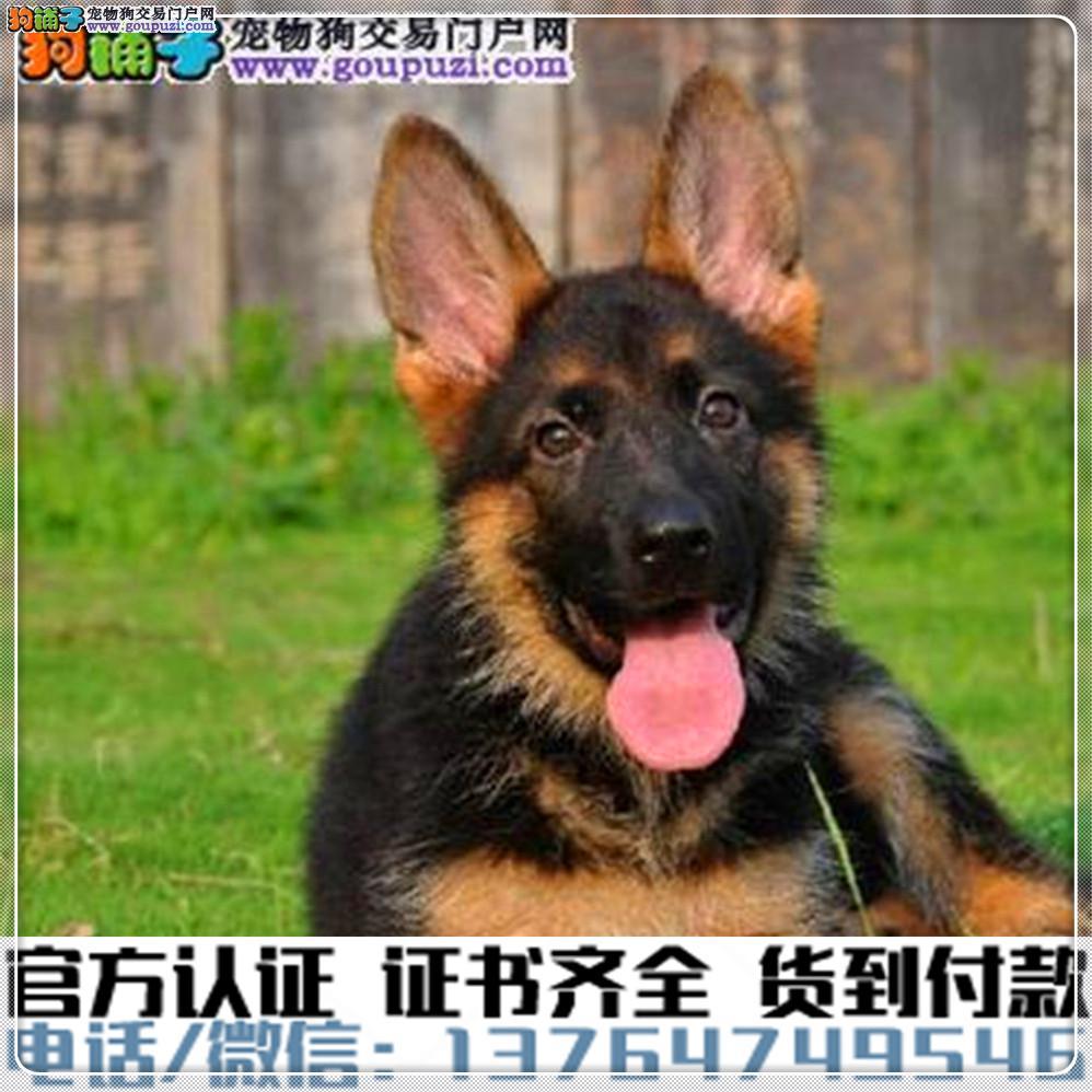 官方保障 犬舍繁殖纯种 德牧健康养活 可签协议.