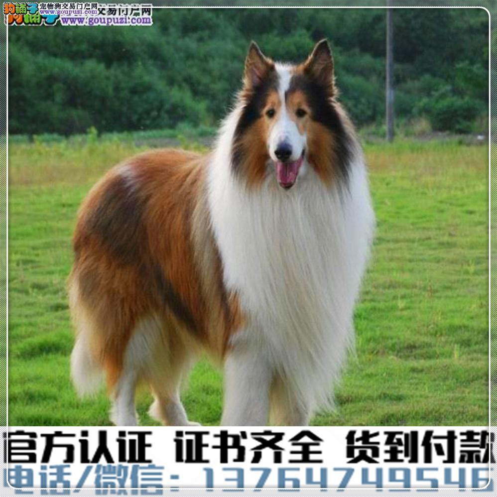 官方保障|犬舍繁殖苏牧纯种健康养活可签协议2