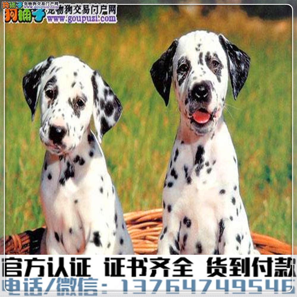 专业繁殖斑点狗血统纯种 可实地挑选 免费送到家