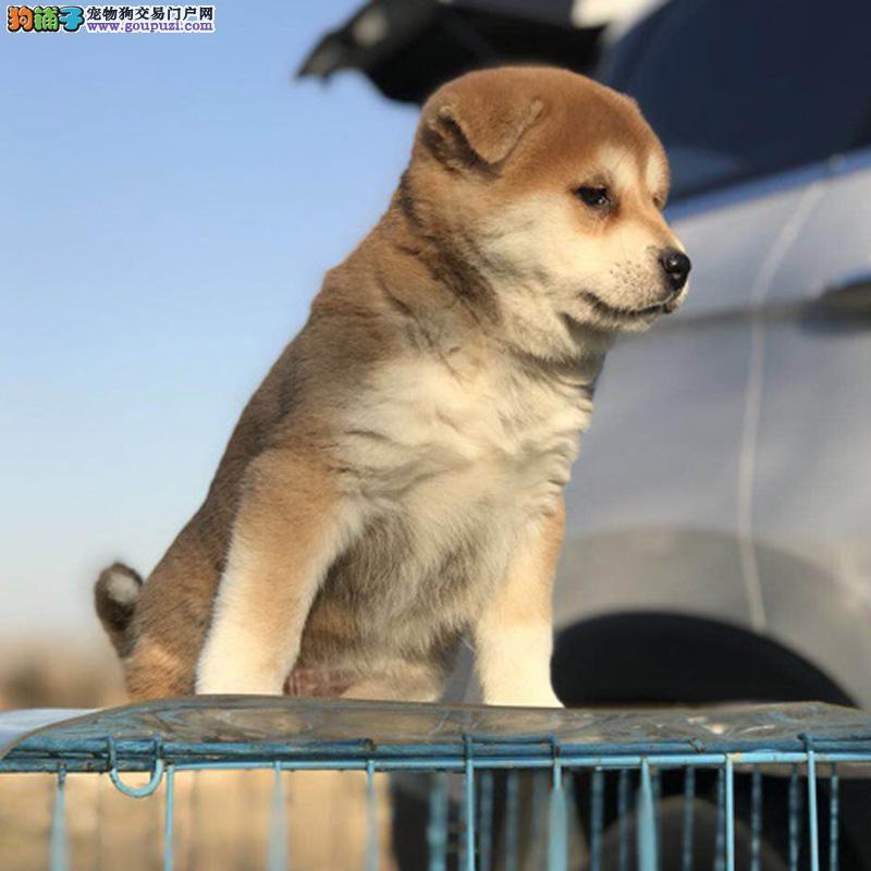 官方保障赛季精品日本秋田犬忠犬八公包健康包品质