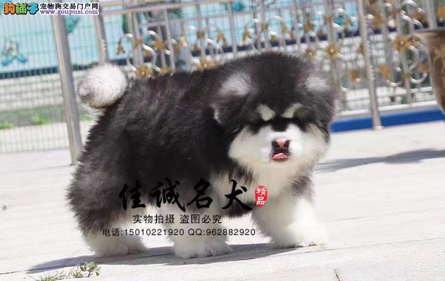 北京哪里卖纯种阿拉斯加
