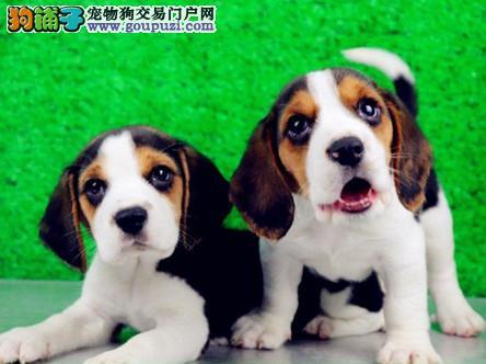 比格犬、纯种比格犬、米格鲁猎兔犬精品比格幼犬找新家