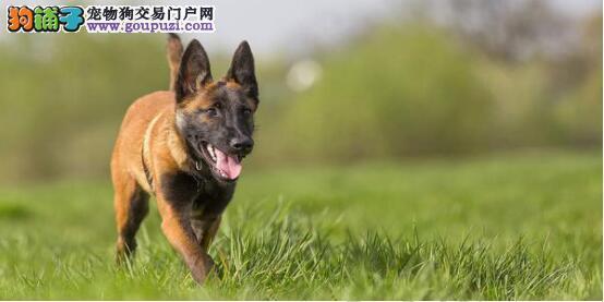 从外观判定大丹犬的好坏6
