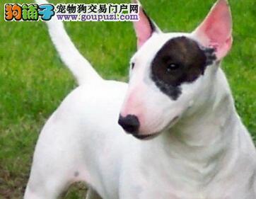 """宠物狗中的""""勇士""""——斗牛梗6"""