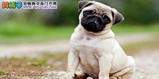 如何买到一只健康的巴哥犬?6
