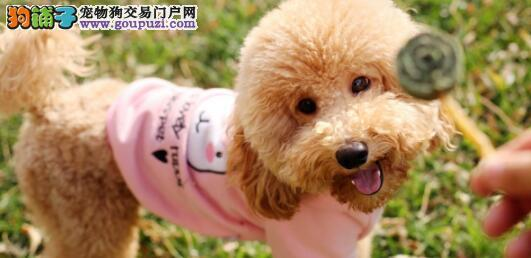 泰迪犬纯种与否的区分小方法