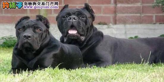 挑选罗威纳犬要从外形看5