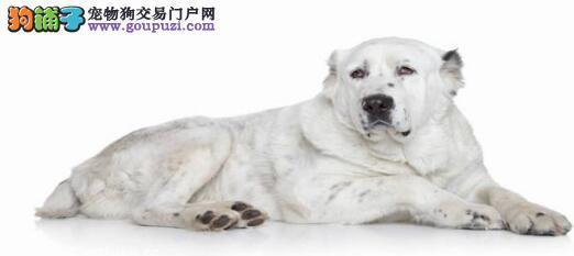 中亚牧羊犬正确的挑选方式6
