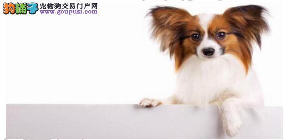 挑选蝴蝶犬不容易,多了解知识才能买到良品5