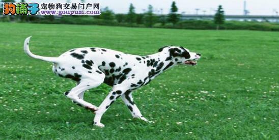 轻松四步选对健康的斑点狗6