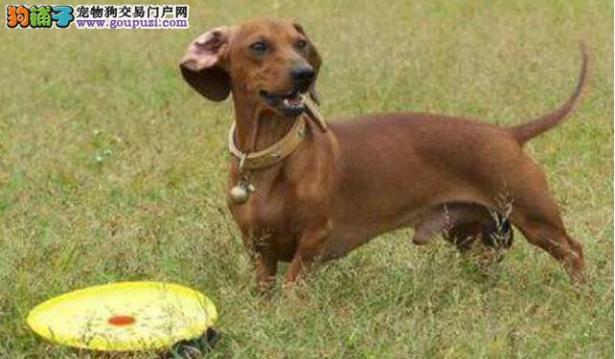 解读如何训练腊肠犬6