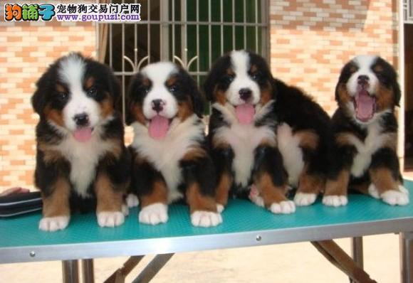 成都17年犬舍直销、伯恩山、出售世界各类名犬、可自提