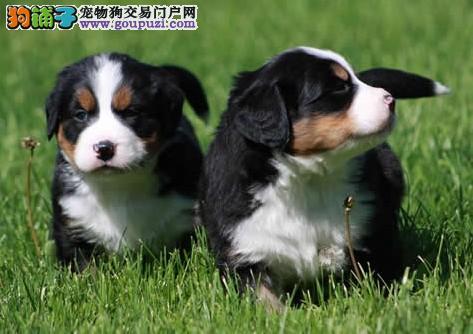 合肥最大犬舍出售纯种伯恩山 包纯种包养活可上门自提