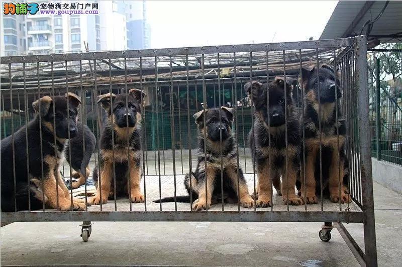 西安17年犬舍直销、狼狗、出售世界各类名犬、可自提
