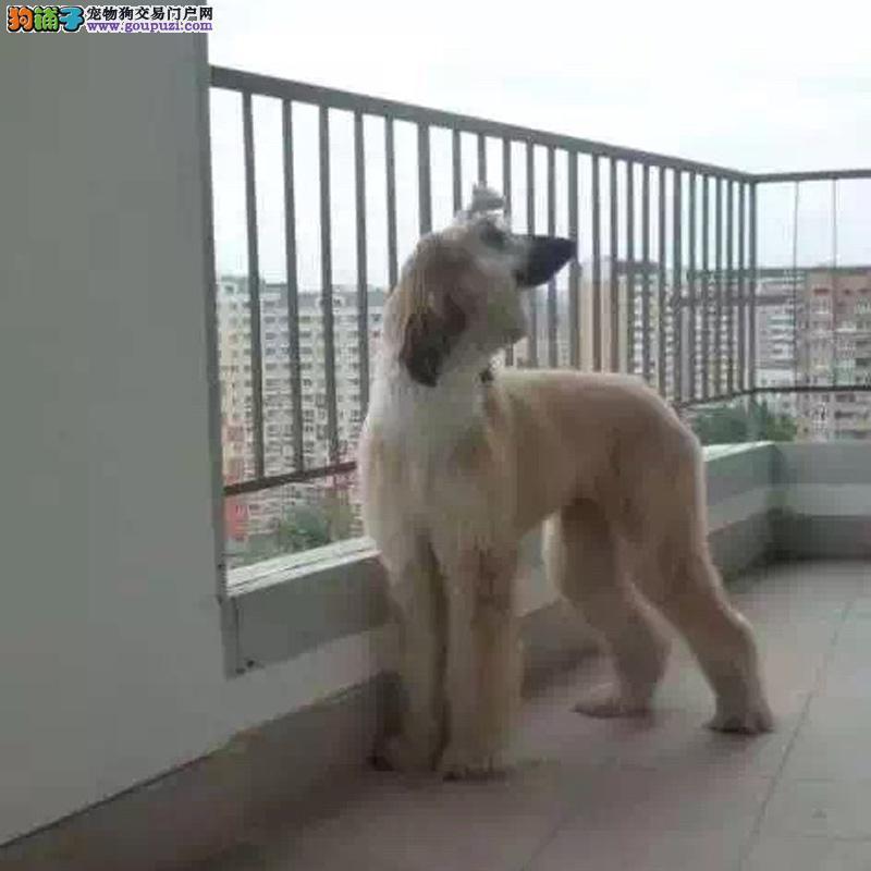 CKU认证出售高品质阿富汗猎犬健康包活可签协议可退换