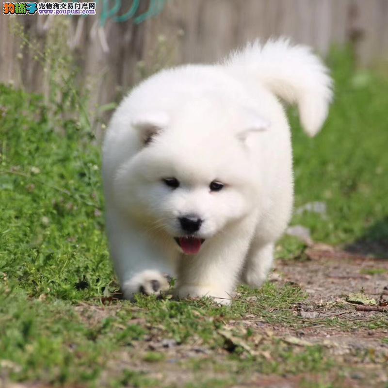 本地出售专业养殖纯种宠物狗 健康包活 可签协议可退换