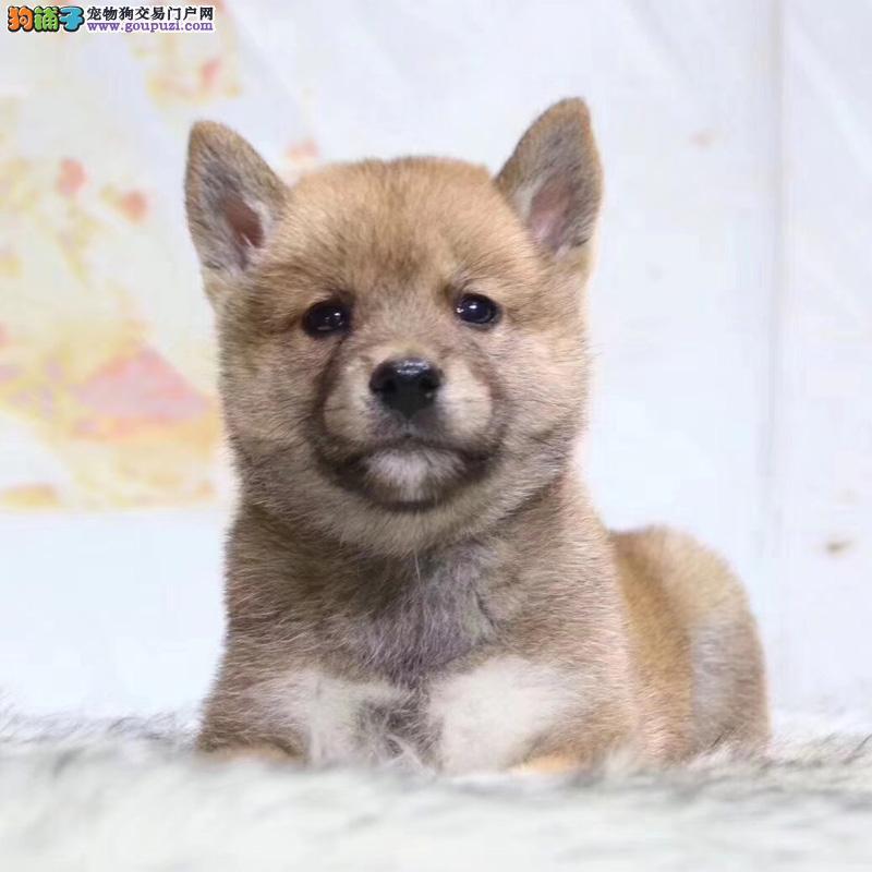 官方推荐 双血统小日本柴犬 健康包活 可签协议 可退换