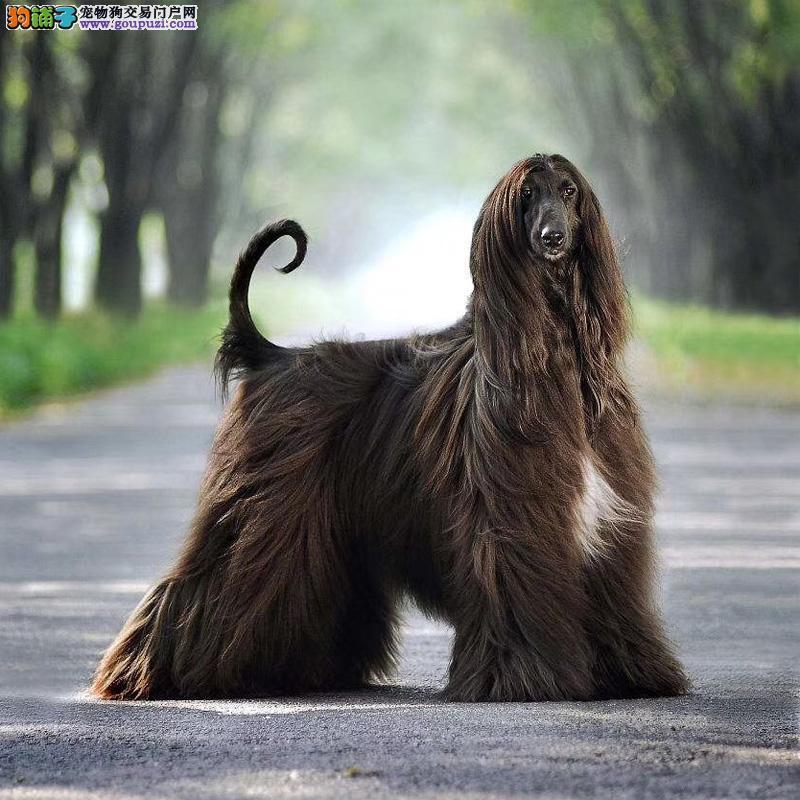 官方推荐 高品质阿富汗猎犬 健康包活 可签协议 可退换