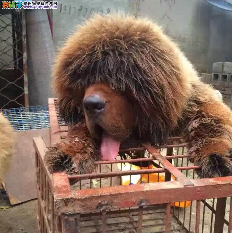 官方推荐 血统大型猛犬藏獒 健康包活 可签协议 可退换