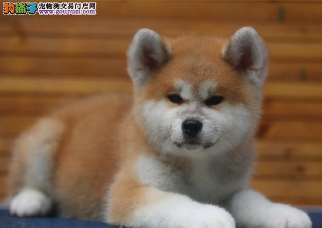 玛丽犬舍专业培育日系秋田犬/CKU认证品质绝对保证
