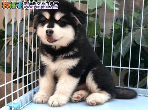 纯种精品阿拉斯加幼犬公母都有/CKU认证品质绝对保证
