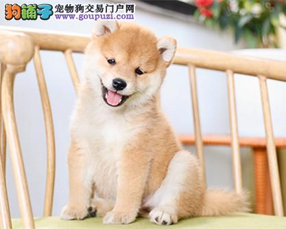 玛丽犬舍专业培育日系柴犬/CKU认证品质绝对保证