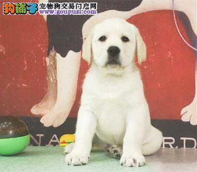 纯种拉布拉多待售幼犬公母都有/CKU认证品质绝对保证
