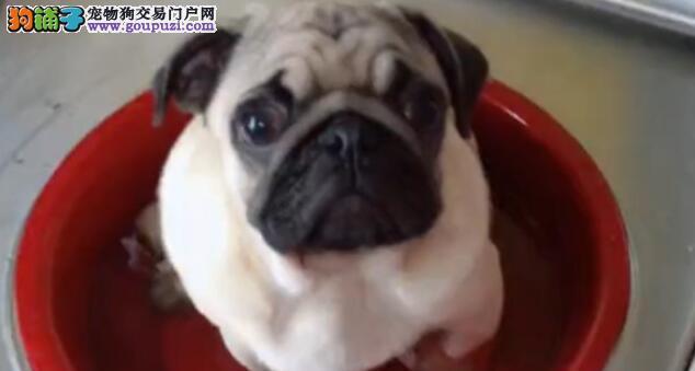 主人骗着巴哥犬洗热水澡,在撒葱花的时候,狗狗懵了5