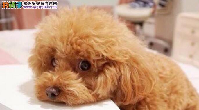 泰迪狗狗爱洗澡,怎么给泰迪洗澡最安全呢5