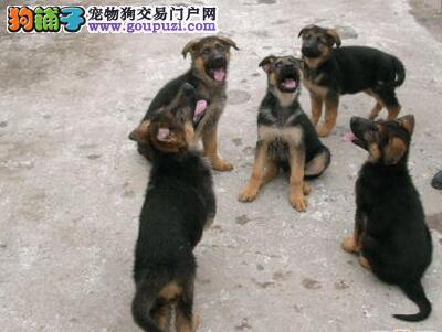 云南德宏德牧出售狗场德牧常年出售德牧和昆明犬是警犬