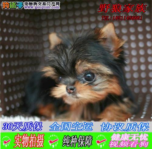 金头银背纯种约克夏犬出售 小型犬视频看狗