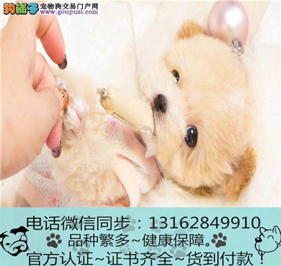 官方保障|泰迪 幼犬低价出售期待您的咨询