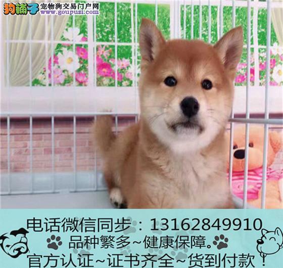官方保障|柴犬 血统纯种 可实地挑选 可送到家