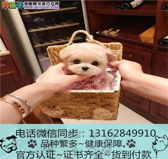 cku认证犬舍出售极品泰迪犬签协议保健康