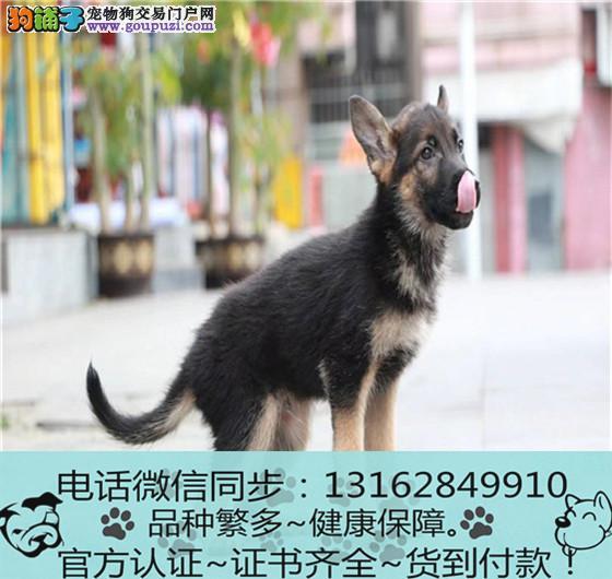 纯血统 德牧幼犬 专业繁殖包质量 购犬可签协议