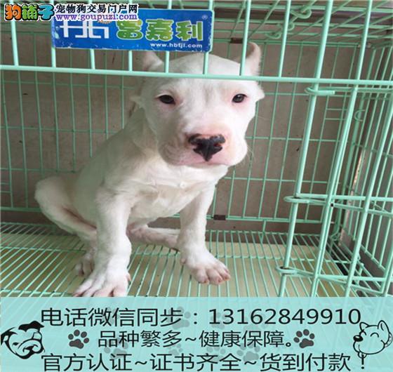 纯血统 杜高犬幼犬专业繁殖包质量 购犬可签协议