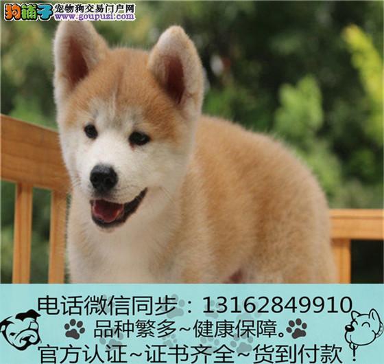纯血统秋田犬幼犬 专业繁殖包质量 购犬可签协议