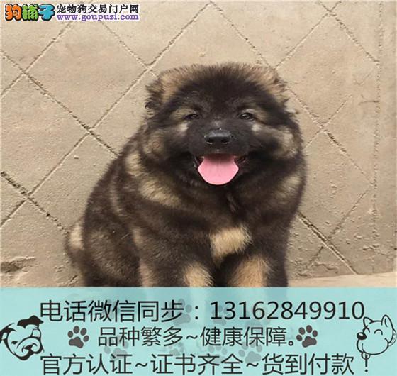 纯血统 高加索犬幼犬专业繁殖包质量 购犬可签协议