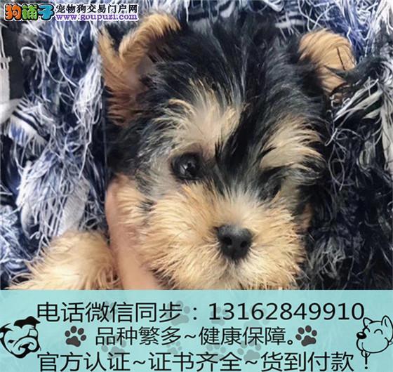专业繁殖纯种约克夏犬 三年质保 签订协议