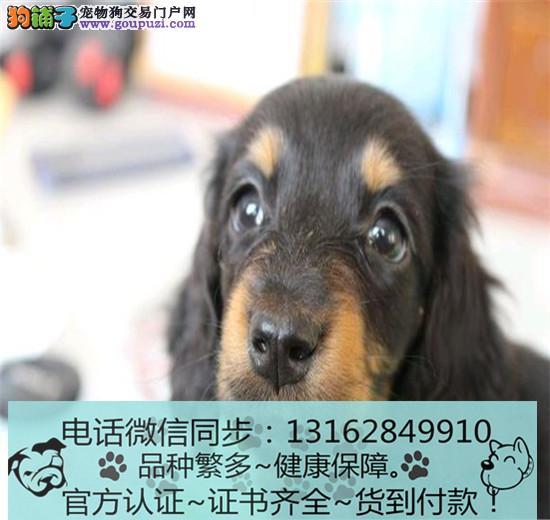 出售纯种腊肠犬包纯种包健康可上门签协议