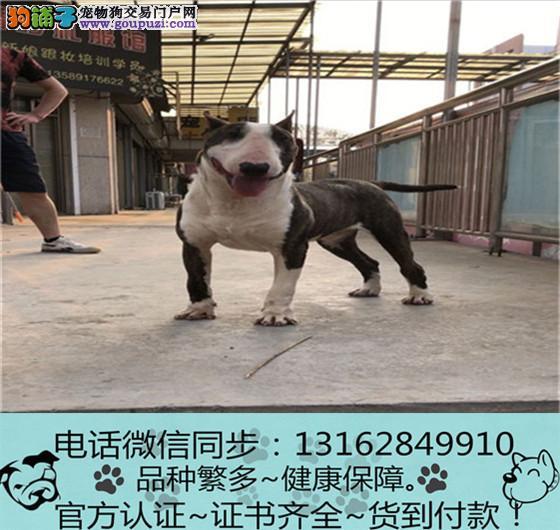 cku认证犬舍出售极品牛头梗羊犬签协议保健康