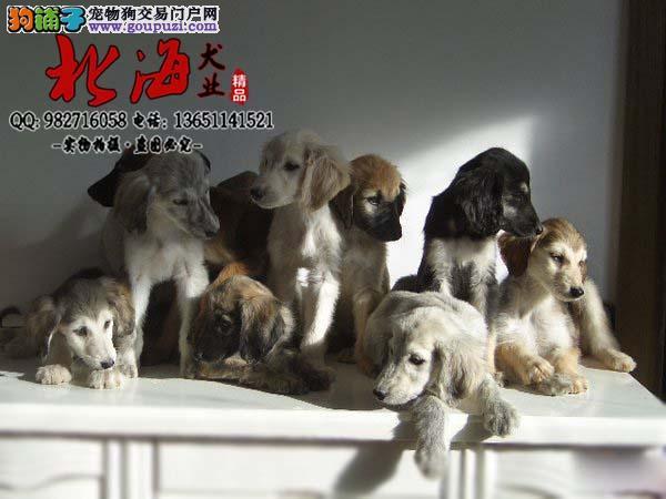 北京延庆区哪里卖纯种阿富汗猎犬多少钱一只